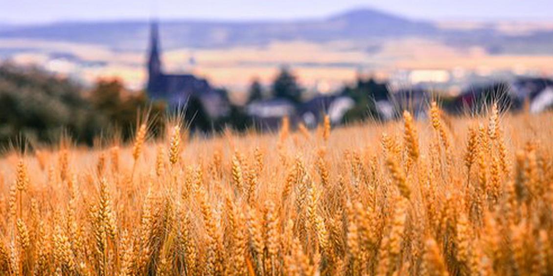 Blick über ein Kornfeld, im Hintergrund eine Kirche